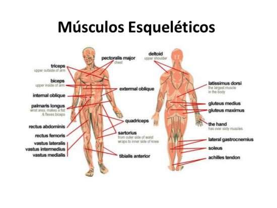 ▷ Músculos del cuerpo humano | ¿Cuántos hay? ¿Cómo se clasifcian?