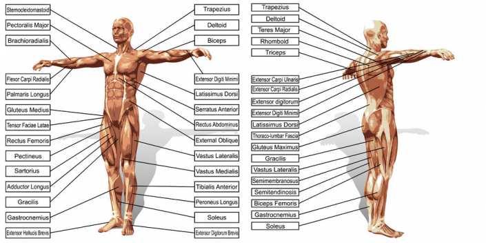 Músculos Del Cuerpo Humano Cuántos Hay Cómo Se Clasifcian