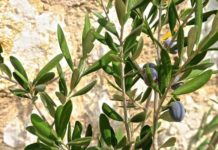 escualeno vegetal